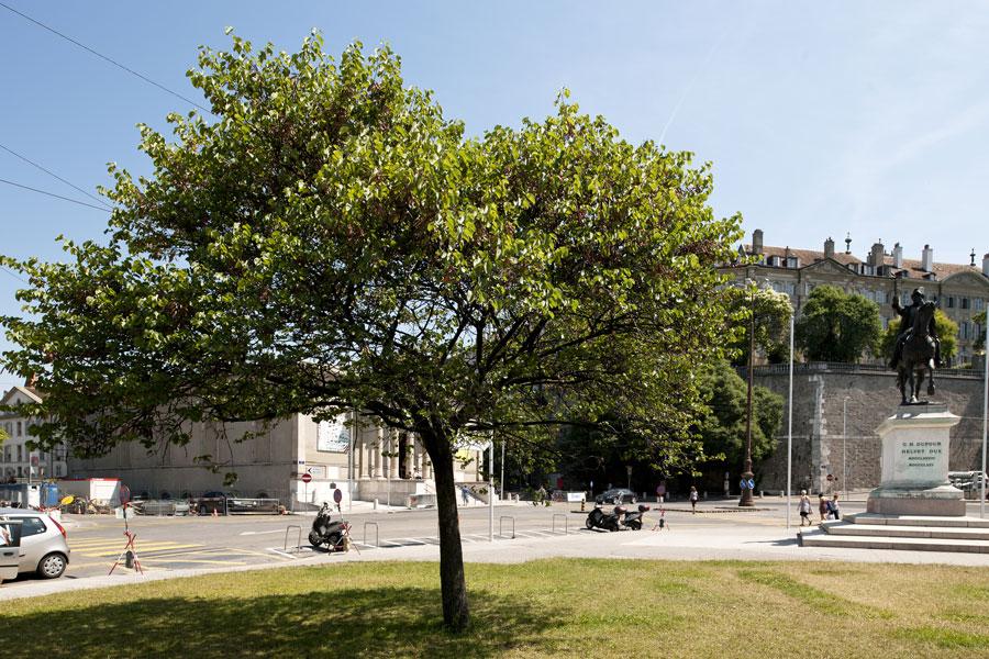 Arbre de jud e d couvrir nos arbres arbres environnement urbain et espaces verts ville - Arbre de judee photo ...