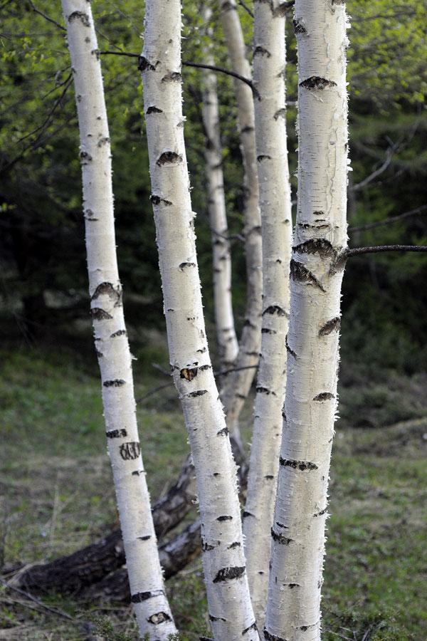 bouleau blanc arbres environnement urbain et espaces verts ville de gen ve site officiel