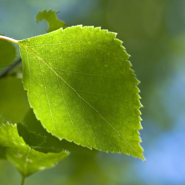 Bouleau d couvrir nos arbres arbres environnement urbain et espaces verts ville de - Feuille de bouleau photo ...