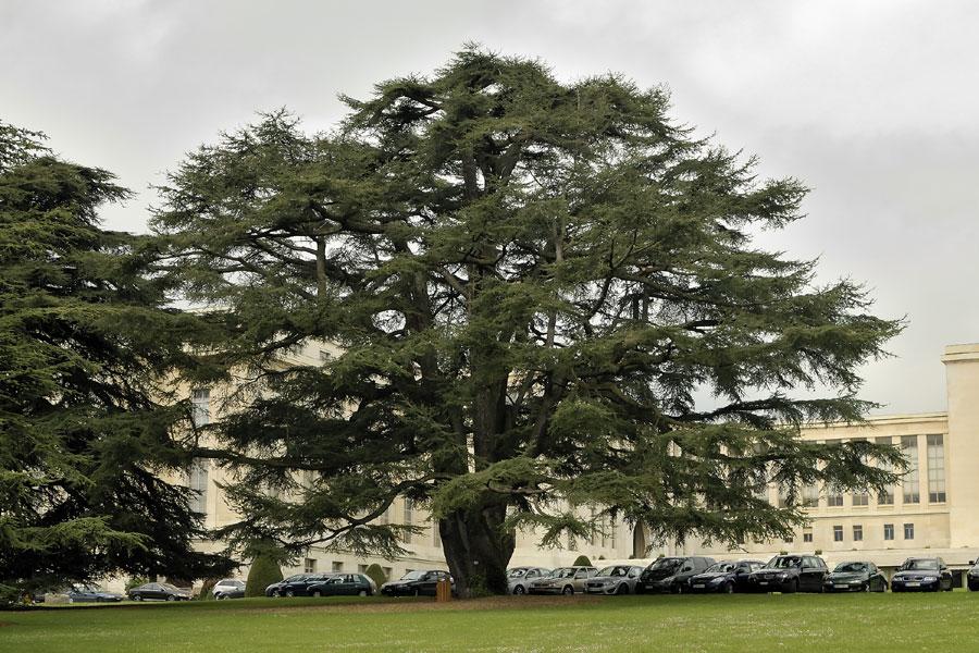 C dre du liban c dre d couvrir nos arbres arbres environnement urbain et espaces verts - Cedre bleu du liban ...
