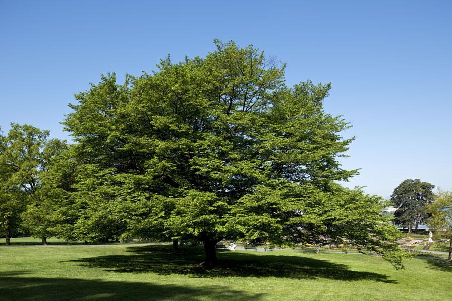 charme d couvrir nos arbres arbres environnement urbain et espaces verts ville de gen ve. Black Bedroom Furniture Sets. Home Design Ideas