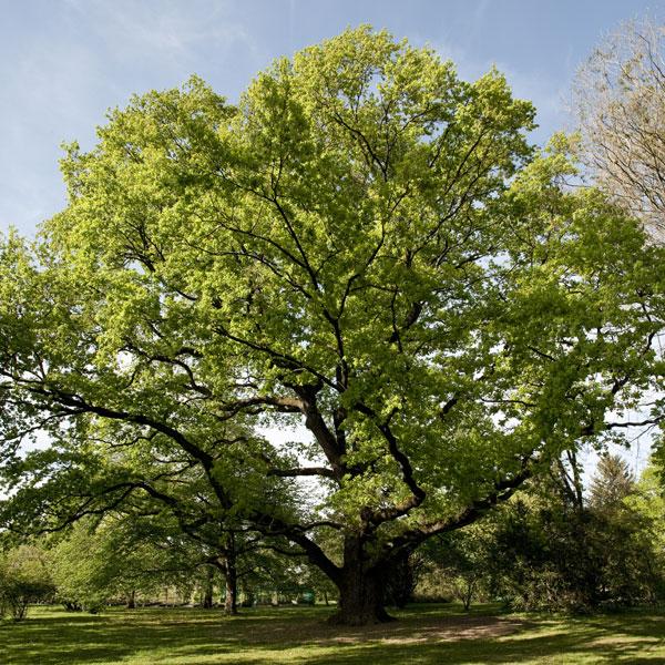 ch ne d couvrir nos arbres arbres environnement urbain et espaces verts ville de gen ve. Black Bedroom Furniture Sets. Home Design Ideas