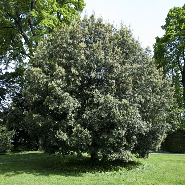 Ch ne vert ch ne d couvrir nos arbres arbres - Maladie du chene vert arbre ...