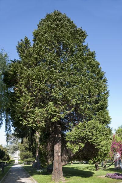 cypr s de lawson faux cypr s d couvrir nos arbres arbres environnement urbain et espaces. Black Bedroom Furniture Sets. Home Design Ideas