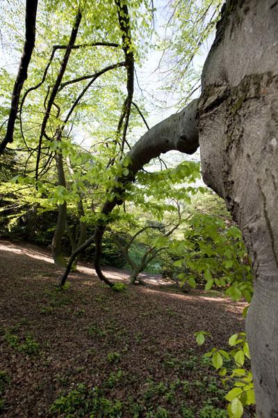 h tre commun h tre d couvrir nos arbres arbres environnement urbain et espaces verts. Black Bedroom Furniture Sets. Home Design Ideas