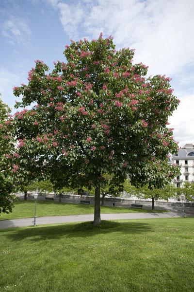 Marronnier rouge marronnier d couvrir nos arbres arbres environnement urbain et espaces - Arbres a fleurs rouges ...