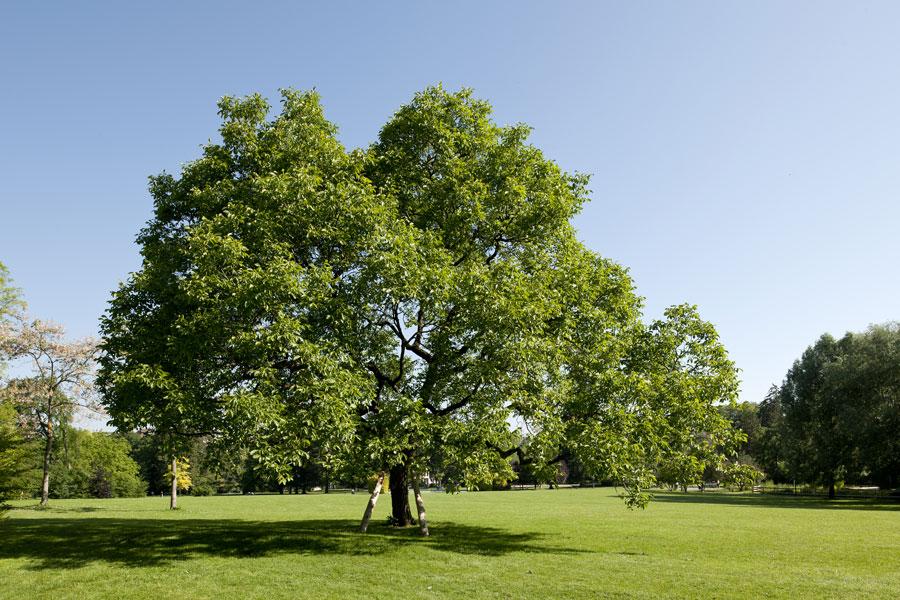 noyer commun noyer d couvrir nos arbres arbres environnement urbain et espaces verts. Black Bedroom Furniture Sets. Home Design Ideas