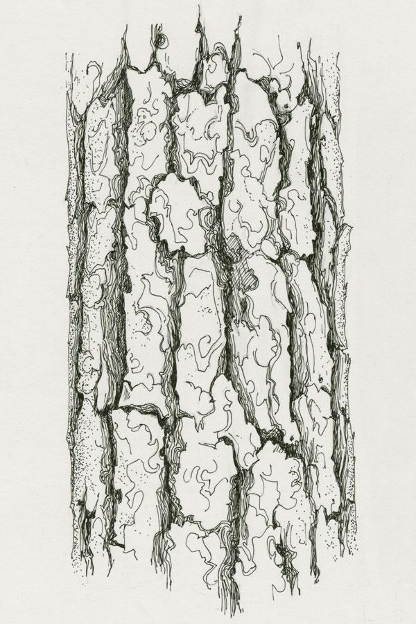 pin sylvestre pin d couvrir nos arbres arbres. Black Bedroom Furniture Sets. Home Design Ideas
