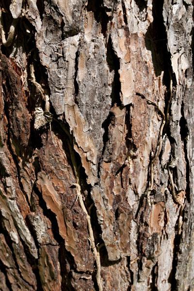 Pin sylvestre pin d couvrir nos arbres arbres - Ecorce de pin auchan ...