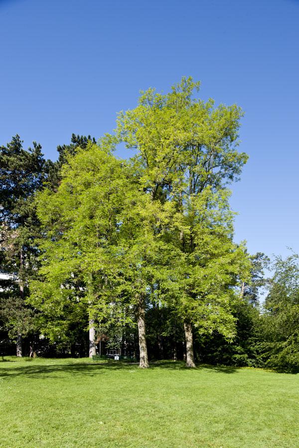 Robinier faux acacia d couvrir nos arbres arbres for Faux olivier arbre