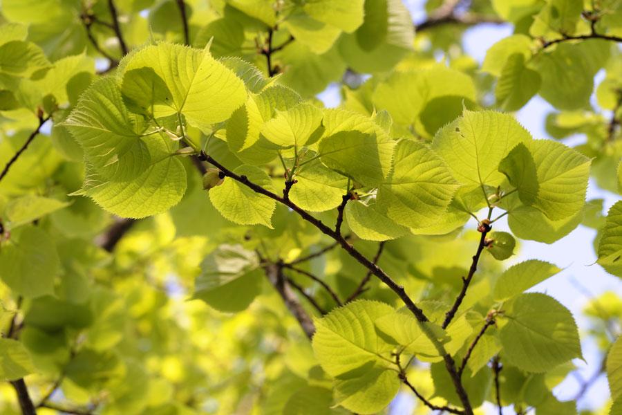 Tilleul grandes feuilles tilleul d couvrir nos arbres arbres environnement urbain et - Tilleul a grandes feuilles ...