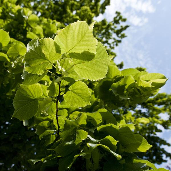Tilleul d couvrir nos arbres arbres environnement - Tilleul a grandes feuilles ...