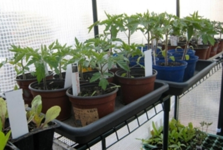Plantations de tomates en pot