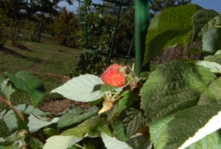 photo d'une framboise sur un arbre fruitier